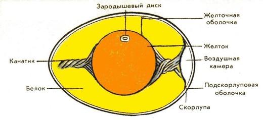 сырого куриного яйца: